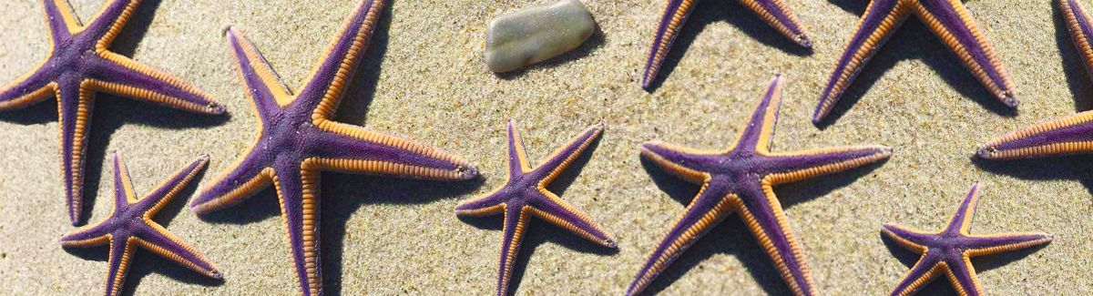 Purple starfish on Hatteras Island