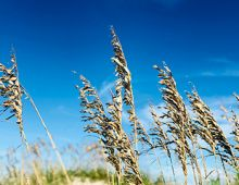 Sea Oats on Hatteras Island